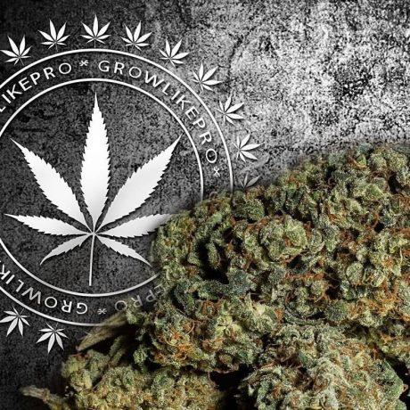 Oto prawdziwy powód, dlaczego marihuana staję się coraz silniejsza