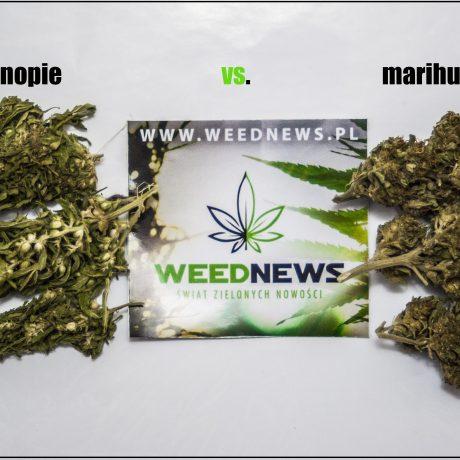 Różnice między konopiami a marihuaną.
