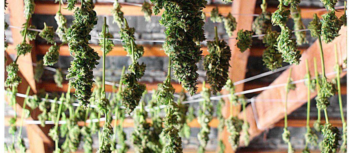 Zbiory, suszenie oraz curring zioła.