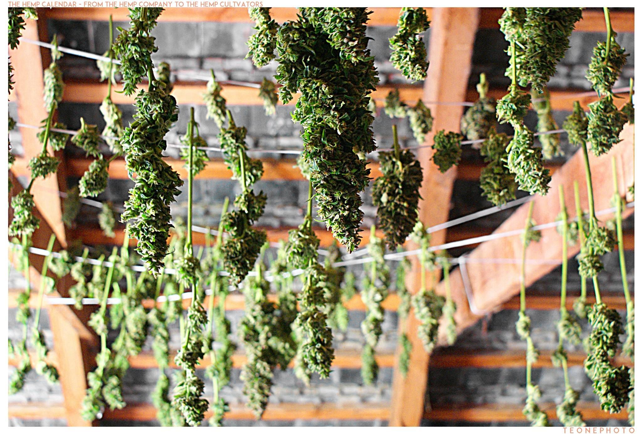 suszenie oraz curring zioła