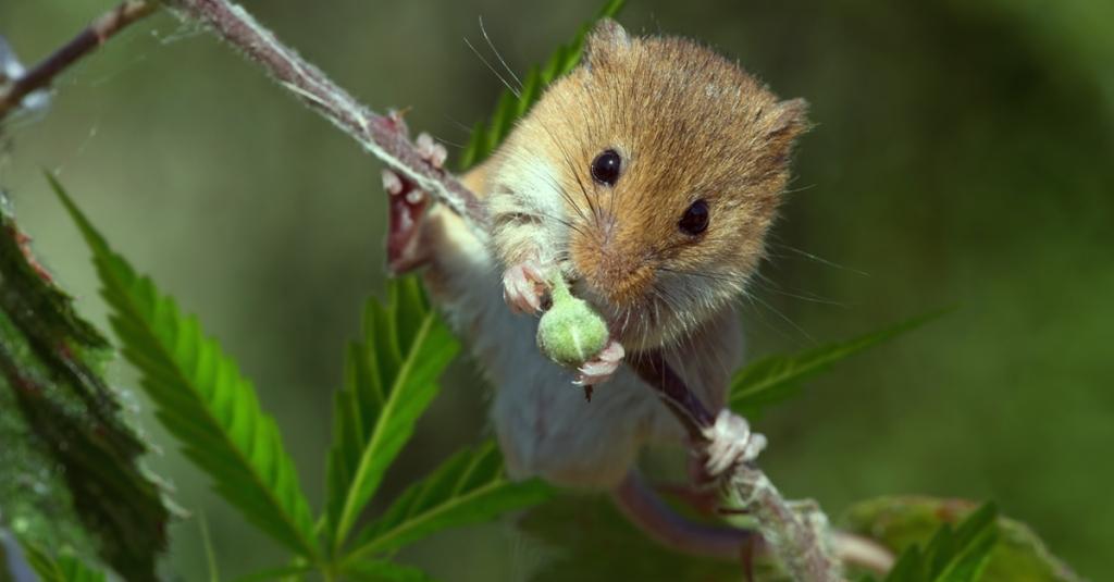Myszy zjadły 500kg marihuany