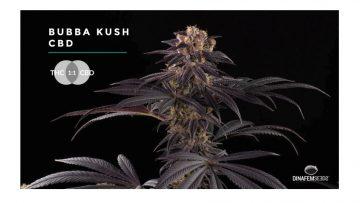 Medyczna marihuana - Bubba Kush CBD i jej właściwości