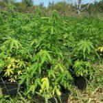 plantacja marihuany w szczytnie