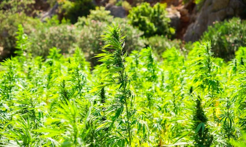 Olej cbd oil cannabis oil reakiro