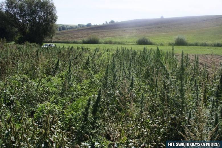 Ujawniono prawie 700 krzewów konopi na polu pietruszki