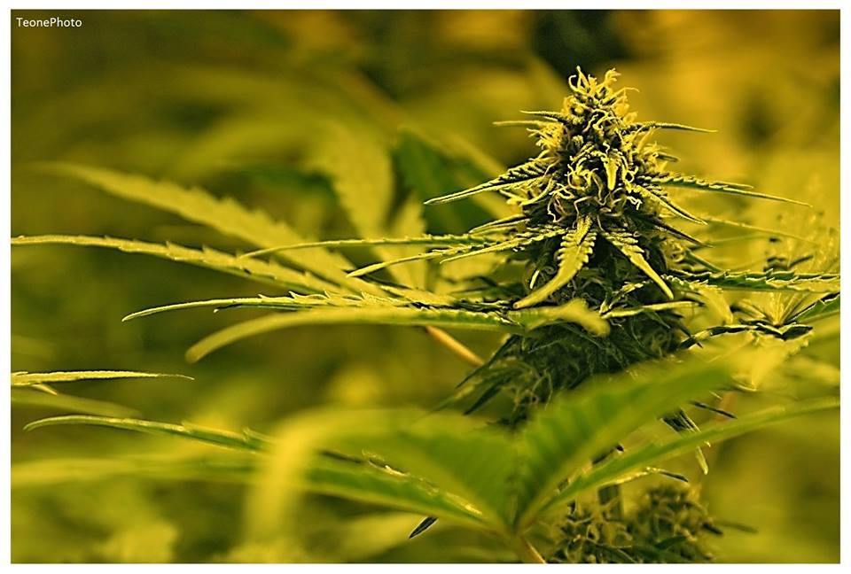 Niemiecka firma Aurora kolejnym eksporterem medycznej marihuany do Polski