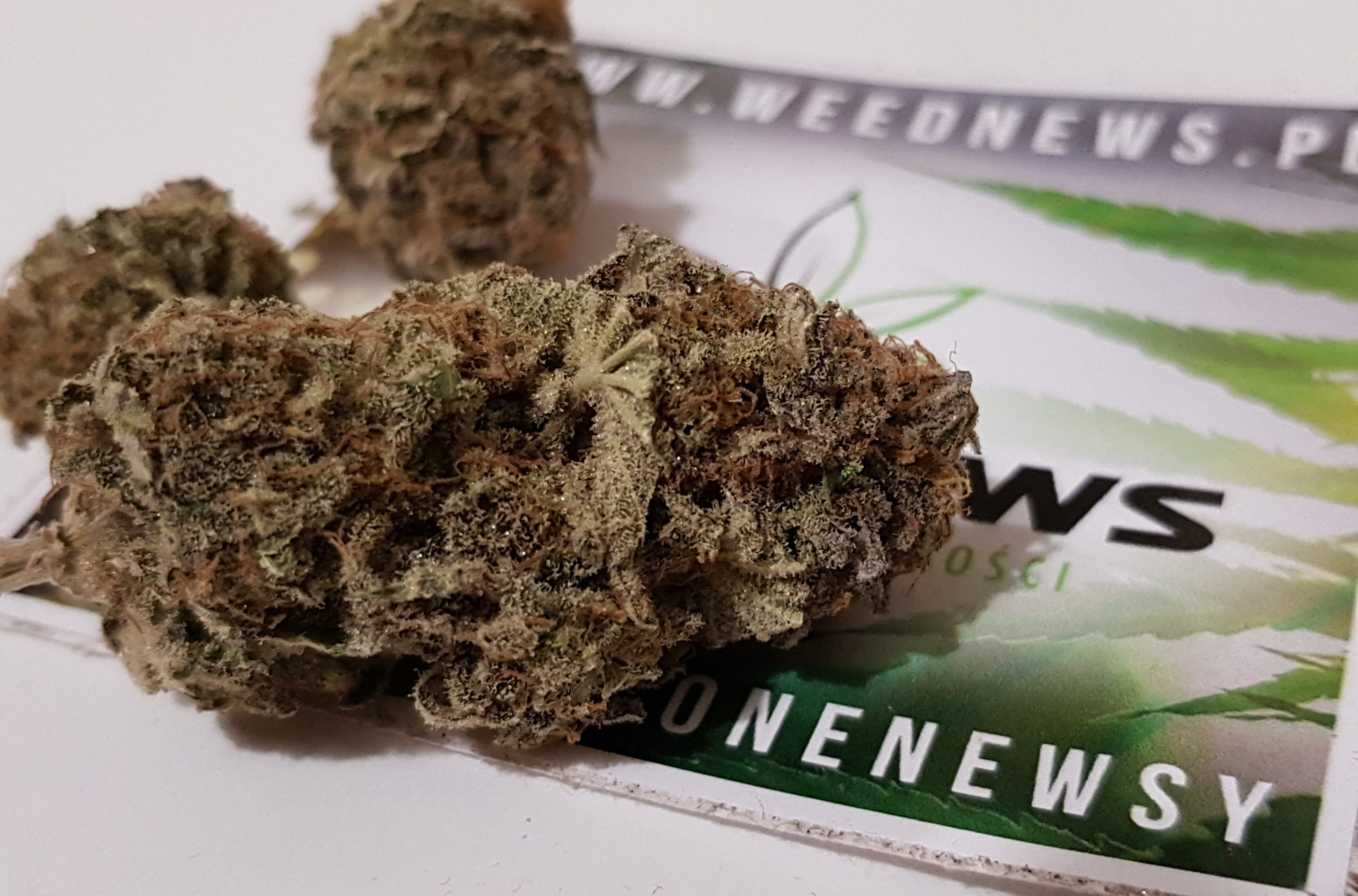 jakość suszu marihuany