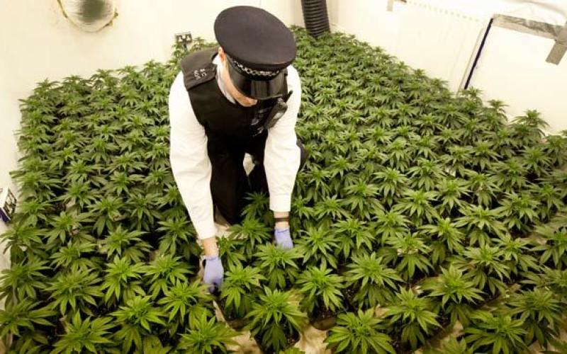 14-sto letni niewolnik zajmował się plantacją marihuany wartą ponad milion złotych