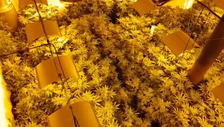 plantację marihuany
