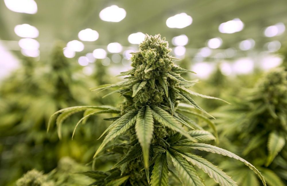 1 kg marihuany