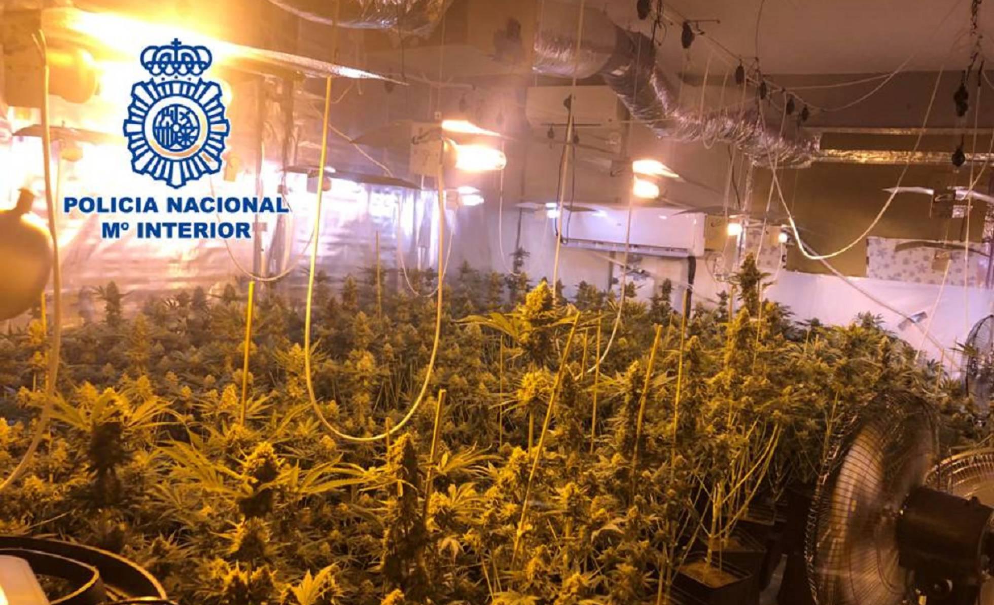 250 krzaków marihuany