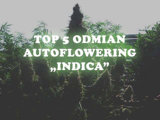 TOP 5 odmian autoflowering