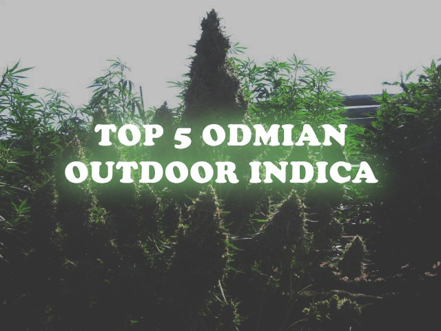 outdoor indica