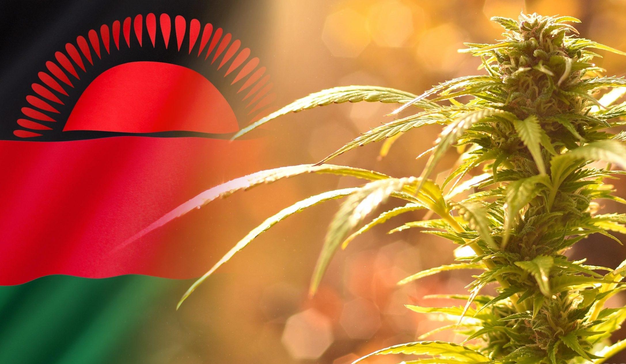 medyczną marihuanę