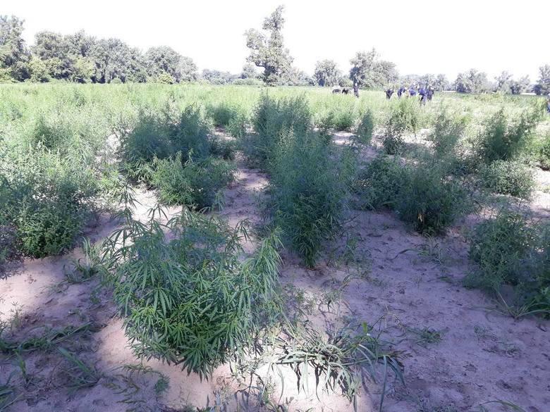 plantacja konopi