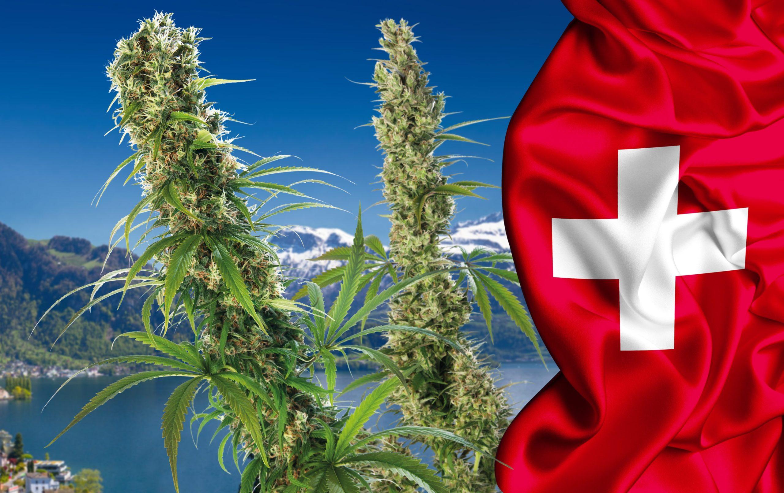 pilotażowy program legalizacji marihuany