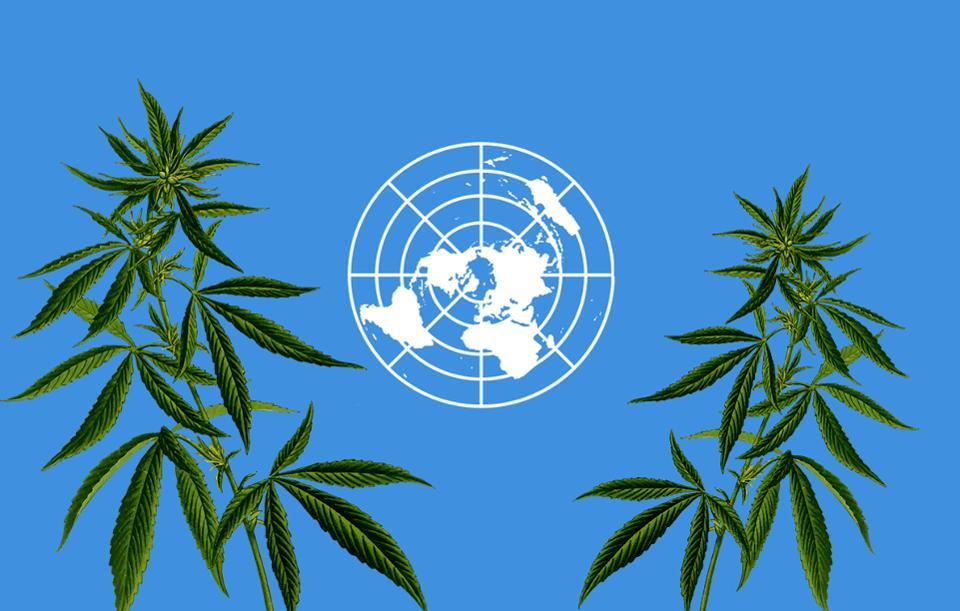 ONZ zmieniło klasyfikacje marihuany
